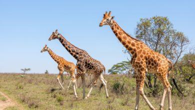 السياحة في كينيا- أهم المزارات السياحية ونصائح السفر وأفضل الفنادق وأشهر المأكولات
