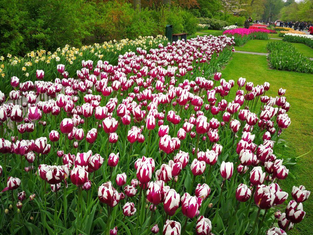 استمتع بجمال زهور التوليب الهولندية في حديقة كويكينهوف