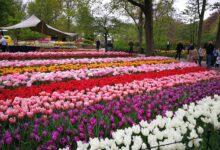 حديقة كويكينهوف هي أفضل مكان يقصده السياح للاستمتاع بجمال زهور التوليب الهولندية، حيث يشاهدون الزهور ذات الألوان والأشكال البديعة التي لا حصر لها. وتعتبر هذه الحديقة من أروع الأماكن لالتقاط الصور الرائعة.